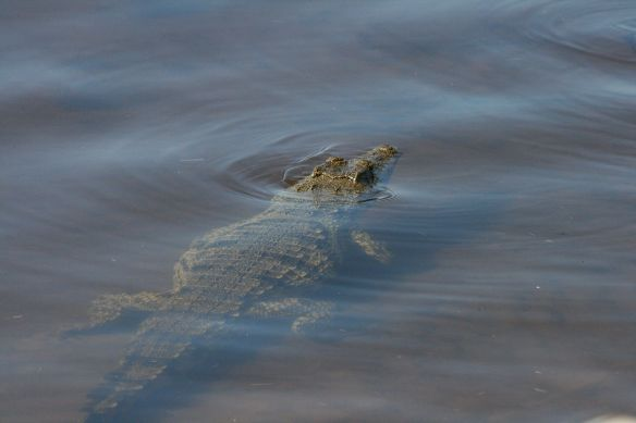Crocodile - even when they're heading the other way, you get a bit of adrenaline!