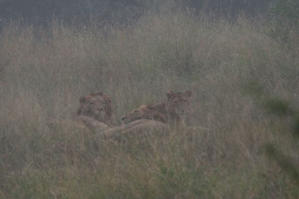 Lions waking up but sitll watching us as we stopped to watch them.