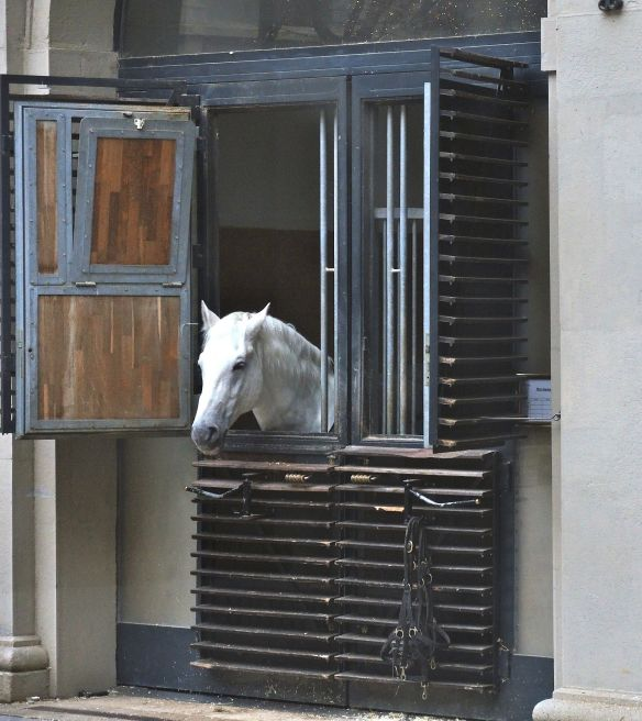 This Lipizzaner horse peaks out of his wood stall in Vienna.