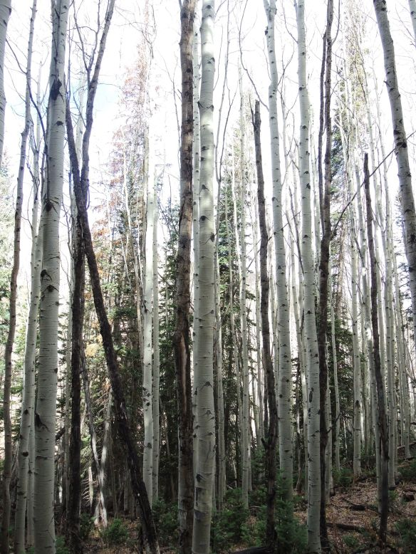 I loved the beautiful wood on these trees I saw while hiking above Park City in October.