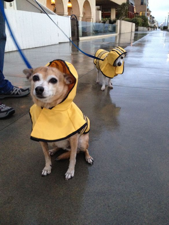 Dogs wearing rain coats on Manhattan Beach Strand on New Year's Eve 2016