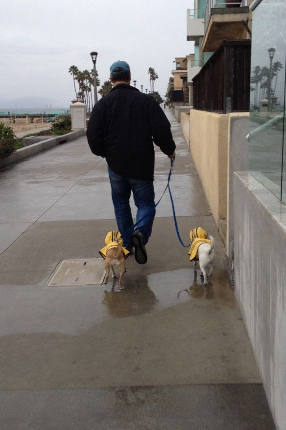 Dogs in raincoats on the Manhattan Beach Strand on New Year's eve 2016